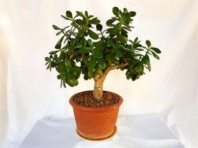 Bonzai Succulents