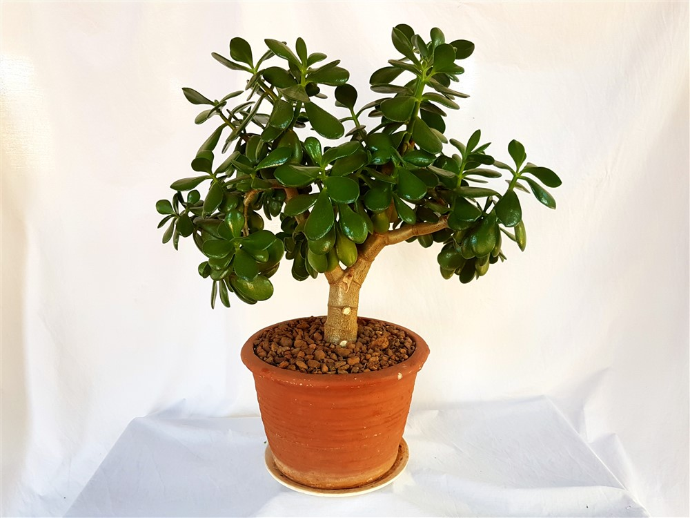 Garden Bush: Crassula Ovata