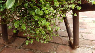 Hanging & Trailing Succulents