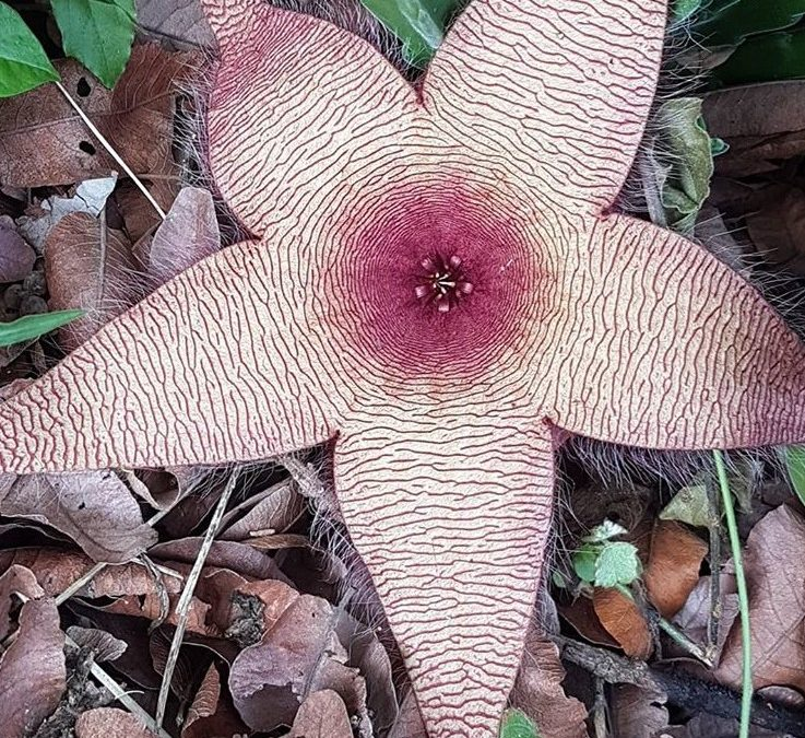 Stapelia Gigantea - African Starfish Flower - Aasblom - Stapelia gigantea – Carrion Flower