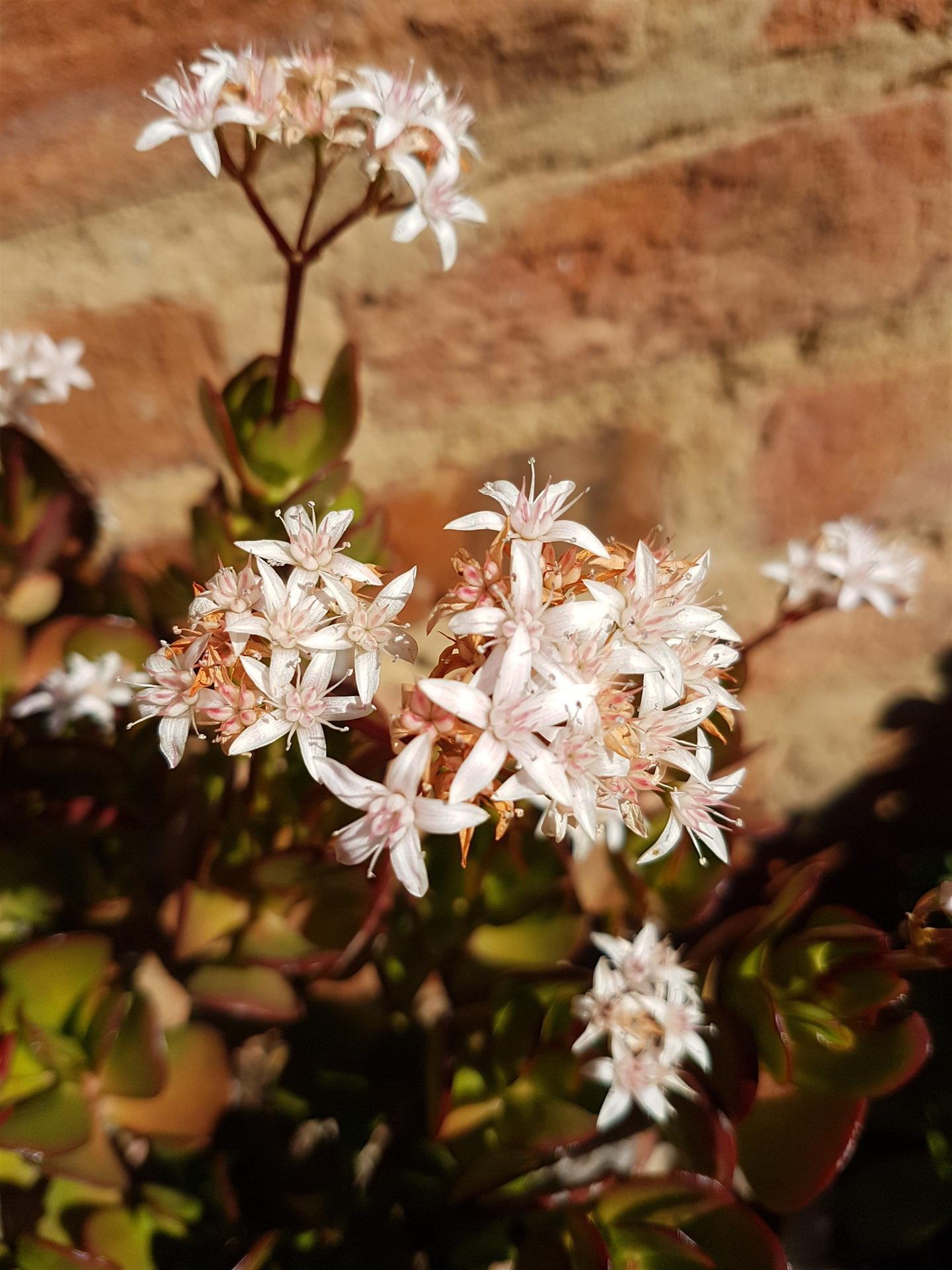 Miniature Jade Plant Lucky Plant Money Tree Crassula
