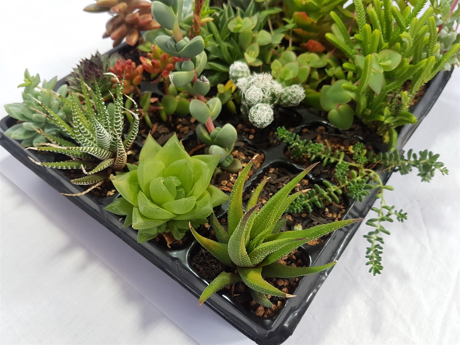 Fairy Garden Succulents Assorted Tray Of 24 Succulent