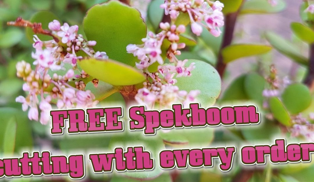 Get a FREE Spekboom / Miniature Jade cutting with every order!