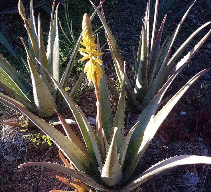 Aloe Vera in flower