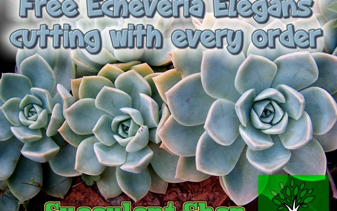 Free Echeveria Elegans cutting with every order